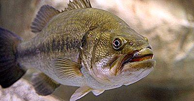 Espécies De Peixes Nativos Do Canadá