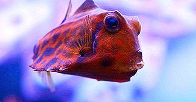 Specie Di Pesci Nativi Dell'India