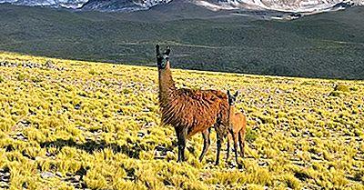 Mamíferos Nativos De Bolivia