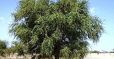Specie Di Piante Native Della Libia