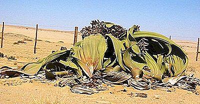 Les Plantes Indigènes De L'Angola