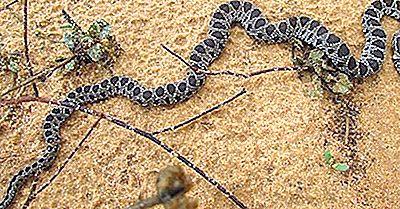 Native Reptilien Von Algerien
