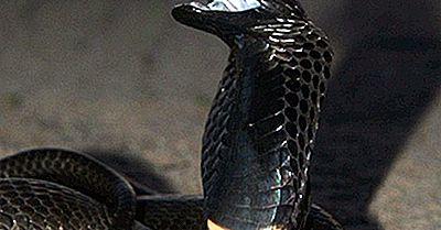 Reptile Native Din Ciad