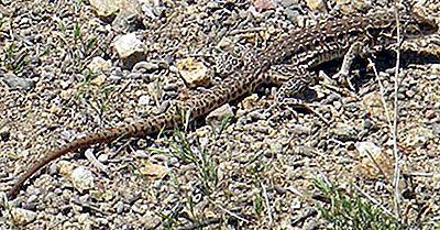 Les Reptiles Indigènes Du Chili