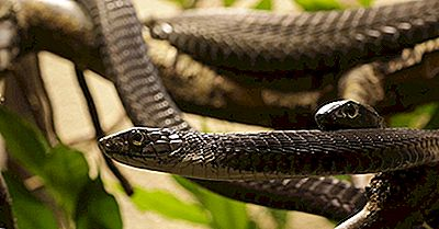 De Indfødte Reptiler Af Mali