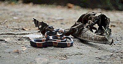 Reptile Native Din Peru