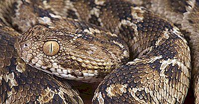 Reptiles Indigènes D'Arabie Saoudite