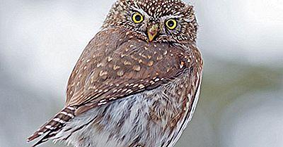 Fatti Del Gufo Pigmeo Settentrionale: Animali Del Nord America