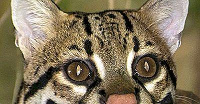 Fatti Di Ocelot: Animali Del Nord America