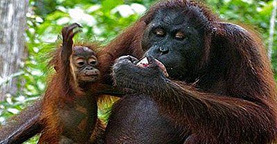 Orangutans Of The World: Arter, Hot Och Bevarande
