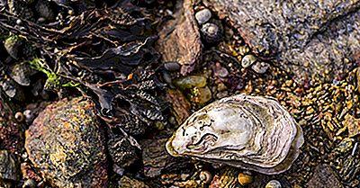 Østersfakta: Dyr Af Oceanerne