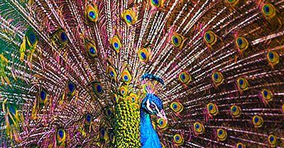 Fatos De Peafowl - Animais Do Mundo