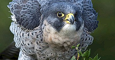 Peregrine Falcon Fapte: Animale Din America De Nord