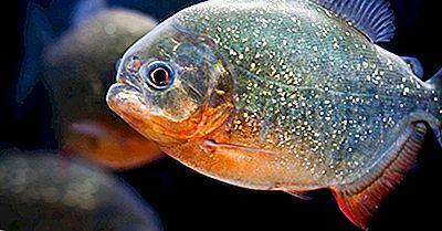 Fatos Piranha - Animais Da América Do Sul