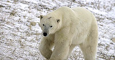 Fatos Do Urso Polar: Animais Da América Do Norte