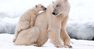 Den Isbjørnbefolkningen Over Hele Verden: Viktige Fakta Og Tall