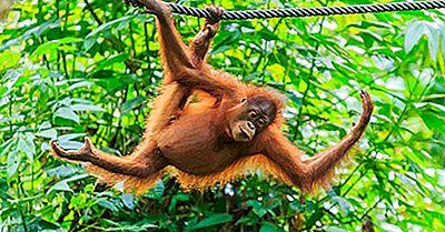 População De Orangotangos: Fatos Importantes E Figuras