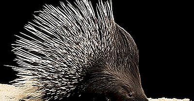 Datos De Puerco Espín - Animales Del Mundo
