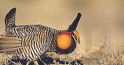 Faits Sur Le Poulet Des Prairies: Animaux D'Amérique Du Nord