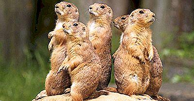 Prairie Dog: Animales De América Del Norte