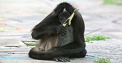 Primates Indfødt Til Mellemamerika