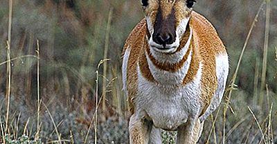 Datos De Pronghorn: Animales De América Del Norte