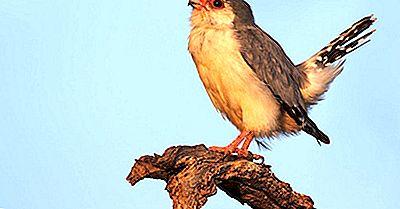 Faits Sur Le Faucon Pygmée - Animaux D'Afrique