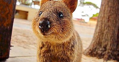 Quokka Fapte: Animale Din Oceania