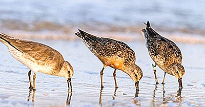 The Red Knot Bird - Uccelli Dell'Artico
