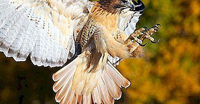 Faits Sur Le Faucon À Queue Rousse: Animaux D'Amérique Du Nord