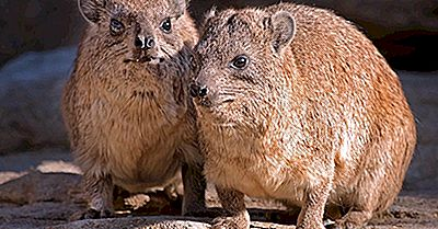 Datos De Rock Hyrax: Animals Of Africa