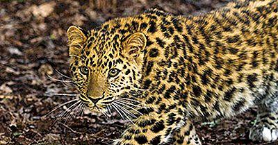 Russlands Am Stärksten Gefährdete Säugetiere
