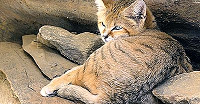 Sand Cat Facts: Animals Of The Desert