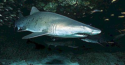 Tiburones Tigre De Arena: Caníbales Oceánicos