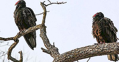 Le Sette Specie Di Avvoltoi Del Nuovo Mondo