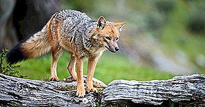 Cele Șase Specii De Vulpe Din America De Sud