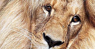 Fatos Do Leão Do Sudoeste Africano: Animals Of Africa