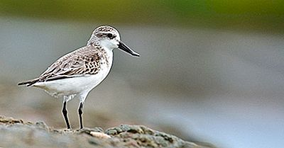 Spoon-Factat Sandpiper Fapte - Animale Din Lume