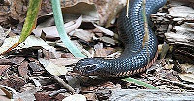 Taipans - Australiens Dödliga Ormar: Hur Många Typer Finns Det?