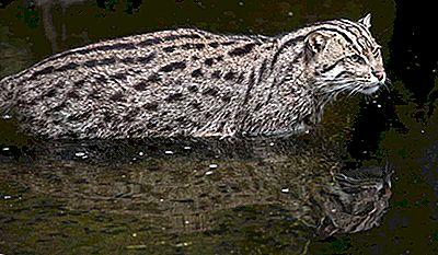 Le Dieci Specie Di Piccoli Gatti Selvatici Trovati In Asia