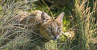 Les Dix Espèces De Petits Chats Sauvages Trouvés En Asie