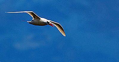 Las Tres Especies Existentes De Tropicbirds Viviendo Hoy
