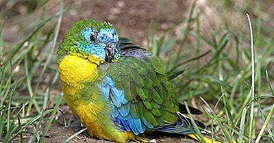 Turcoaz Parrot: Fapte: Animale Din Oceania