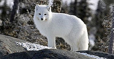 Las Doce Especies De True Foxes