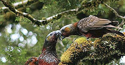 I Pappagalli Unici Della Nuova Zelanda
