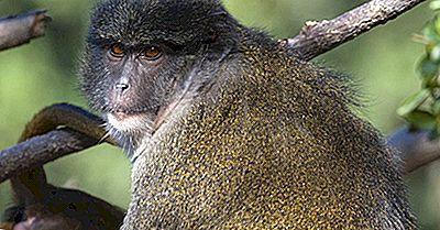 Specii Unice Din Africa: Maimuța Lui Allen Swamp