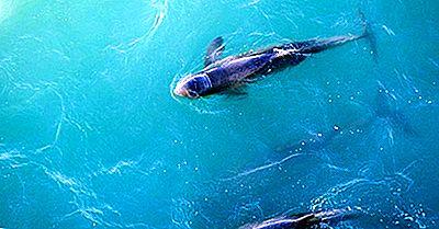 Especie Única De Australia: El Australiano Snubfin Dolphin