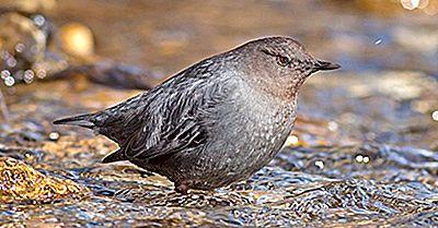Hechos De Agua Ouzel: Animales De América Del Norte