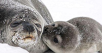 Momentele De Sigilie De La Weddell: Animalele Din Antarctica