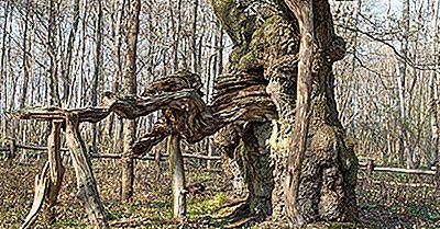 O Que E Onde Está Kongeegen (The King Oak)?